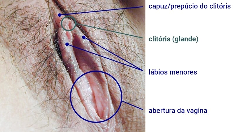 Anatomia da vulva: prepúcios do clitóris, glande do clitóris, lábios menores e entrada da vagina